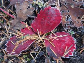 Victoria frost